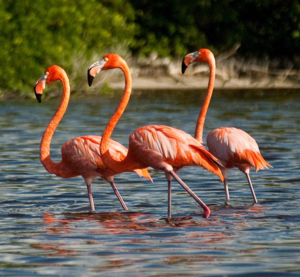 Flamingos en la Ría de Celestún.